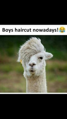 Llamas and Alpacas are famous for their hair. Start viewing haircut ideas for Llamas and Alpacas. Funny Animal Memes, Funny Animal Pictures, Funny Animals, Cute Animals, Funny Memes, Jokes, Animal Funnies, Animal Quotes, Funny Quotes