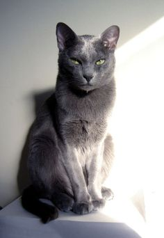Korat Cat:   The Korat cat breed is a small to medium sized cat with males weighing 8-10 pounds and females weighing 6-8 pounds. The body is well muscled and powerful with a broad chest.
