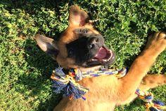 West Coast Belgian Malinois Rescue & Adoption Woof Project is a non-profit serving California, Washington, Oregon, Idaho, Nevada. Adopt a Belgian Malinois Belgian Malinois, Degas, Rescue Dogs, West Coast, Adoption, Animals, Foster Care Adoption, Animales, Malinois Dog