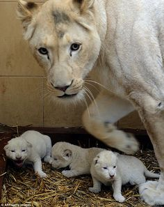 ~~Mother's pride: White lion Azira is pictured with her three beautiful new-born cubs | AFP Getty Images~~