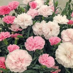 Dianthus 'Yesterday, Today, Tomorrow' - Dianthus Plants - Thompson & Morgan