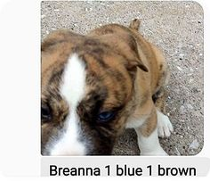 St Louis, MO - Husky/Boxer Mix. Meet Breanna, a puppy for adoption. http://www.adoptapet.com/pet/16717490-st-louis-missouri-husky-mix