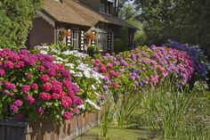 Lend a classic touch to your landscape. Get our Hydrangea Shrubs today! Hydrangea Varieties, Hydrangea Shrub, Hydrangea Garden, Hydrangea Flower, Hydrangeas, Nikko Blue Hydrangea, Hydrangea Colors, Shrubs For Sale, Endless Summer Hydrangea