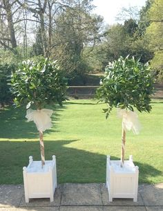 4.6ft replica Bay Trees set in white Versaille Planters with white organza ribbon, perfect for wedding venue entrances.