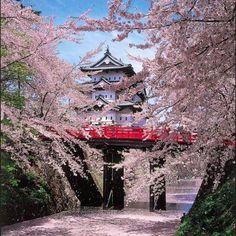 Sakuras en floraison..