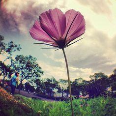 #Goodmorning ☻☻☻ #朝の1枚 One taken in the morningღ 『 Flower Power 』夏桜⁉ Autumn flowers were in bloom⁉ 『 頂 ITADAKI 2012 100%BIO-DIESEL POWERED @ Yoshida Park Shizuoka Pref.,Japan』 Music Festival in JAPAN  #sun - @phantastic420- #instagram