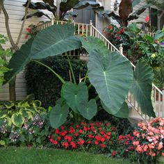 Hardy Tropical Plants You Can Grow! Tropical plants are an amazing statement to add to any garden, offering exotic design sense and wonderful texture and color. Garden Shrubs, Diy Garden, Shade Garden, Garden Plants, Garden Cottage, House Plants, Tropical Garden Design, Tropical Landscaping, Tropical Plants