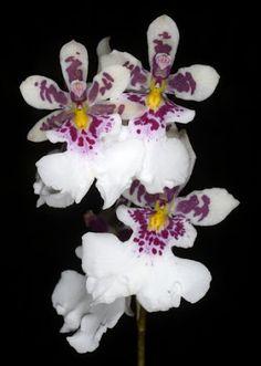 Foto: Caucaea phalaenopsis - Ecuagenera
