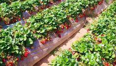 The complete Farming guide for Farmers - Part 17 Strawberry Garden, Strawberry Fields, Fruit Garden, Vegetable Garden, Strawberry Hill, Pomegranate Farming, Garden Projects, Garden Tools, Farming Guide