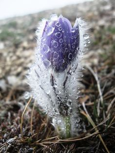 Imbolc: Imbolc: Early Spring flower covered with ice. - Imbolc: Imbolc: Early Spring flower covered with ice. Love Flowers, Beautiful Flowers, Tulips Flowers, Plantes Alpines, Early Spring Flowers, Color Lila, Snow And Ice, Winter Beauty, Jolie Photo