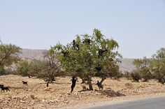 Goats in argan trees, Sousse, southern Morocco (2) -