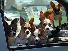 Truck full of Chis..wonder who might be the alpha dog...