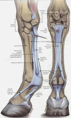 Anatomy every horse owner should know! The Equine Lower Front Leg. Leg Anatomy, Horse Anatomy, Animal Anatomy, Muscle Anatomy, Anatomy Bones, Horse Information, Horse Care Tips, Horse Facts, Animal Science