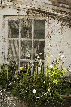 Dandelion in old greenhouse at Fernhill Gardens, Sandyford, Dublin