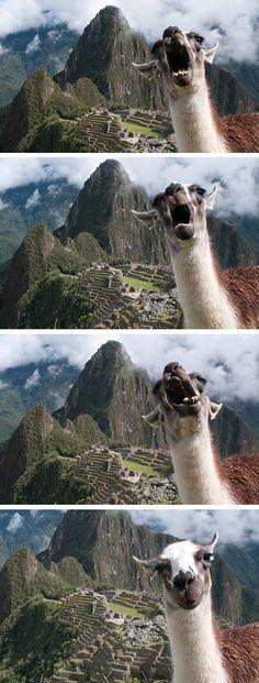 cool-llama-face-smile-machu-picchu