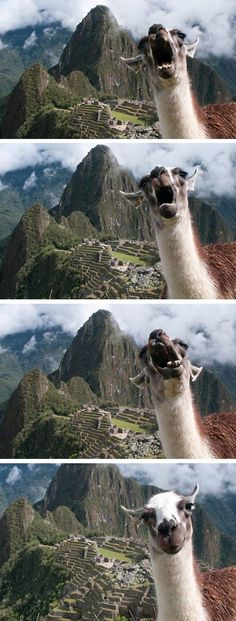 Picture Of A Llama Crying: 1000+ Ideas About Llama Face On Pinterest