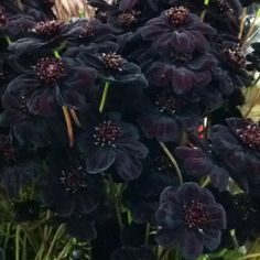 Chocolate cosmos - I want these at my wedding :)