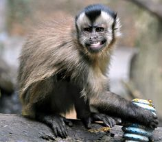 """""""llbwwb: Brown Capuchin Monkey (by Kiwi~Steve)"""" He's like 'damn girl, you fine. Funny Monkey Pictures, Animal Pictures, Capuchin Monkey Pet, Capuchin Monkeys, Rainforest Pictures, Monkey Smiling, Animals And Pets, Cute Animals, Bass Fishing Shirts"""