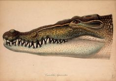 Pictures of new or known amphibians and Reptiles: designed according to the nature or life / By Schlegel, H. (Hermann), 1804-1884