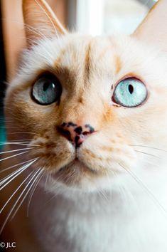 Photo taken of my half persian, half flame point siamese kitty! <3