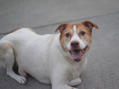 CARLISLE - A1083674 - Brooklyn - Publicly Adoptable TO BE DESTROYED 08/06/16 Carlisle is in a little bit of a pickle. At a time when he should be putting his best paw forward, he is nervous and tense and reluctant to make new friends. Why? Because he's eight years old. Because he got lost, found and brought in to the dog equivalent of hell. Because he misses his home, toys, bed and family. Carlisle did well on his behavioral evaluation despite this but surely needs to find a quiet place to…