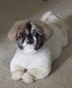 Pekingese Grooming Cuts