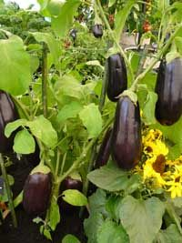 Awesome Growing Eggplant, I Like Buying My Seedlings Instead Of Starting From Seed  Because They Are Difficult To Get Started But Once Big Enough They Are Su2026
