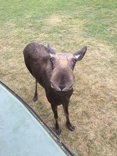 Meet moose! http://ift.tt/2nvdm9f