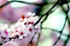 Sakura 3 by *nabi4 on deviantART