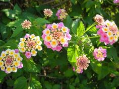 The 10 Best Flowers for Hanging Flower Baskets: Lantana