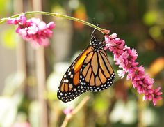 Monarch Butterfly on Kiss Me Over the Garden Gate, how sweet it is!