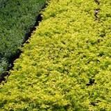 ground cover shrubs images - Google Search