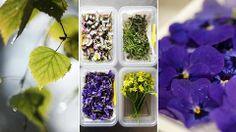Nässlor, harsyra och andra smakfulla växter som finns i vårt nordiska landskap är delikatesser