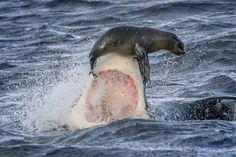 lucky seal avoided a grisly death in the jaws of a great white shark when the killer fish tried turning it into lunch. But the massive predator missed its mark as it breached the surface, nailing the seal with its snout,  instead of row after row of razor-sharp teeth. The terrified seal then narrowly escaped by using a flipper to avoid falling into the shark's mouth. Irish tourist David Baz Jenkins, 41, shot the stunning photo while on a shark-watching cruise off the coast of Cape Town.