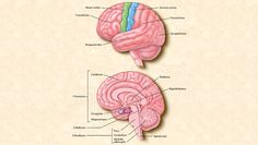The top image shows the four main sections of the cerebral cortex: the frontal lobe, the parietal lobe, the occipital lobe, and the temporal lobe. Functions such as movement are controlled by the motor cortex, and the sensory cortex receives information on vision, hearing, speech, and other senses. The bottom image shows the location of the brain's major internal structures.