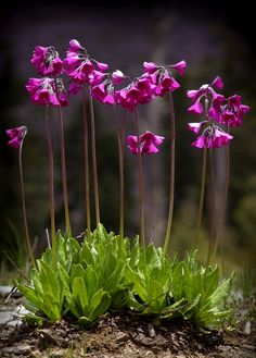 Primula secundiflora - Home And Garden All Flowers, Exotic Flowers, Amazing Flowers, Beautiful Flowers, Alpine Garden, Alpine Plants, Shade Garden, Garden Plants, Herb Garden