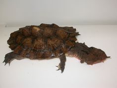 Turtle - Matamata Tortoises, Turtles, Reptiles, Treats, Bird, Sweet Like Candy, Goodies, Tortoise, Turtle