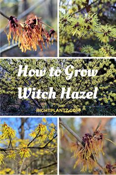 How to Grow Witch Hazel Trees And Shrubs, Trees To Plant, Herb Garden, Garden Plants, Witch Hazel Tree, Exotic Flowers, Yellow Flowers, Peonies Garden, Flowers Garden