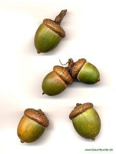 Rot-Eiche / Quercus rubra / Eicheln Familie: Fagaceae