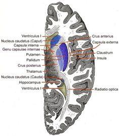 Internal capsule - Wikipedia