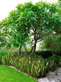 Front door middle view hedge -add ferns to undergrowth Sansevieria trifasciata with Plumeria Florida Landscaping, Tropical Landscaping, Landscaping Plants, Coastal Gardens, Beach Gardens, Outdoor Gardens, Tropical Gardens, Balinese Garden, Mother In Law Tongue