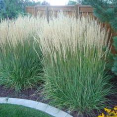 'Karl Foerster' feather reed grass (National Gardening Association)