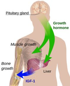 Human Growth Hormone (HGH) - An Anti-aging Remedy? Human growth hormone HGH is one of 7 hormones secreted by the pituitary. Growth hormone has an effect on almost all our tissues and organs. It enhances the growth of various organs and tissues, especially Hgh Injections, Hormone Supplements, Pituitary Gland, Anterior Pituitary, Trigeminal Neuralgia, Increase Height, Growth Factor, Growth Hormone, How To Grow Taller