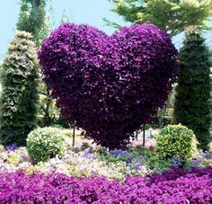 25' vertical purple heart - landscaping ideas - adding spectacular centerpieces to your backyard.