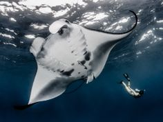 Photos: A Sanctuary for Enormous, Majestic Manta Rays