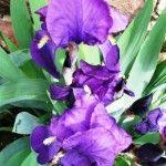 Iris transplanting