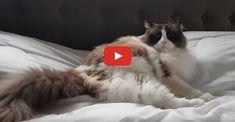 See how Timo the cat refuses to leave the bed. He sure is one determined kitty! #cat #cats #catvideos