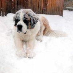 Saint Bernard with snow!!! Best thing ever