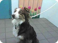 Albuquerque, NM - Australian Shepherd Mix. Meet BELLA, a dog for adoption. http://www.adoptapet.com/pet/15532330-albuquerque-new-mexico-australian-shepherd-mix