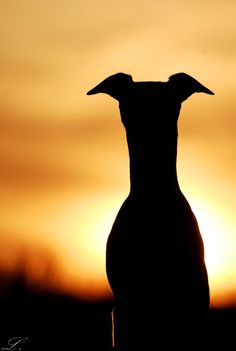 Whippet face silhouette by ~laura75325 on deviantART